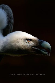 Vulture with water drop from https://www.facebook.com/ruiphotos