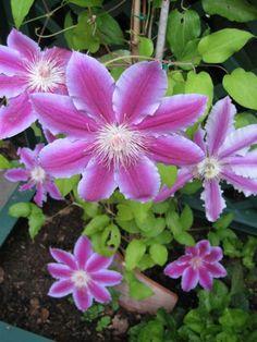vosGaleries.com > garance > fleurs > fleur de magnolia (2)