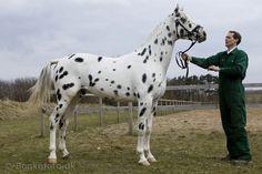I'm in love  Knabstrupper horse