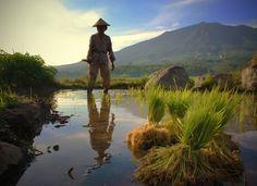 man at padi field Indonesia