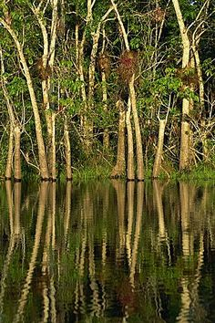 Reflections of bullet trees in the water of New River at Orange Walk in Belize, Central America
