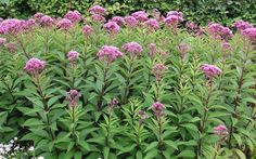 joe pye weed identification   Gardenality.com » Members » Pictures » Joe-pye Weed ~ Eupatorium ...
