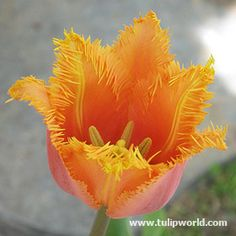 Image Lambada Fringed Tulip I have these growing along my driveway...often stolen they are so temptingly beautiful.  Hardy in zone 8b and naturalizing.  Be sure to plant deep enough to keep them cool in summer and so they don't freeze in winter.