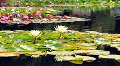 Water Lilies, Nuphar