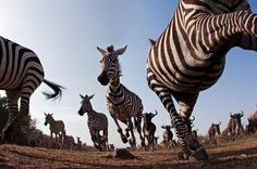 Zebra stampede.    Photo by Anup Shah.