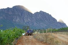 Vineyards at dusk