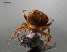 Species: female Araneus diadematus - the Garden Cross spider   Credit: Kim Ball  Identify your house spiders with our FREE app! https://www.societyofbiology.org/get-involved/hands-on-biology/spider-app