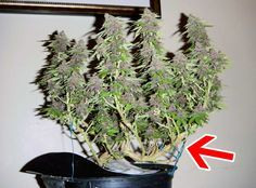 Example of untopped plant that has been trained purely with LST - the arrow points at the main stem, which has been bents completely over