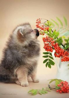 Pom pup smelling a flower!