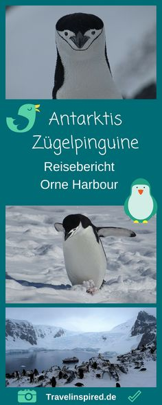 Pinguinparadies Antarktis: In Orne Harbour haben wir knuffige  Zügelpinguine getroffen. Ein unbeschreibliches Erlebnis! Viele Fotos und Reisebericht auf Travelinspired. #zügelpinguine #pinguine #antarktis #orneharbour #antarktischehalbinsel #tierbeobachtungen #travelinspired #reiseinspiration #msfram #hurtigruten #reisbericht #wildlifespotting #antarktisreise #antarktiserfahrungen #schnee #berge #seereise #pinguin