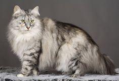 gato bosque de noruega Siberian Cat, Norwegian Forest Cat, Beautiful Cats, Persian Cats, Grande, Dogs, Amor, Breeds Of Cats, White Cats