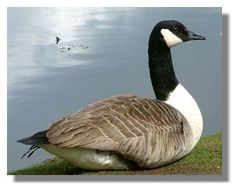 pictures of canadian geese | Canada Goose