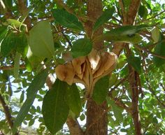 Guatambu - Aspidosperma parviflorum