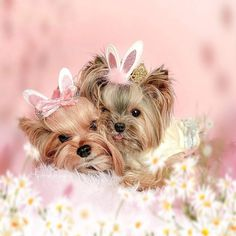 Teacup Yorkie, Yorkie Puppy, Animals And Pets, Funny Animals, Cute Animals, Yorkie Hairstyles, Yorshire Terrier, Pretty Animals, Yorkies