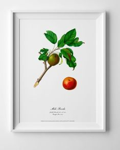Botanical art apple poster vintage antique old picture home kitchen wall decor