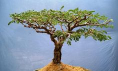Acacia burkei, Pierneef Style Bonsai Styles, Acacia, Fly Fishing, Trees, Flat, Top, Bass, Tree Structure, Fly Tying