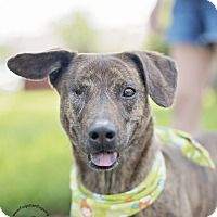 Pictures of Fergie the doggie pirate! a Beagle/Plott Hound Mix for #adoption in #Houston, #TX who needs a loving home.