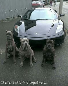Cane Corsos and Cars