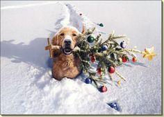 Merry Christmas! Golden Retriever. Gusto - Winter <3 ...