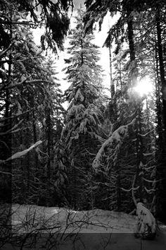 trees. snow. sunshine.