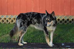 australian husky | GESUCHT! Australian Shepherd / Husky Mischlingswelpe - Ausky ...