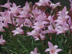 Pink Rain Liles, Zephyranthes grandiflora via Hoe and Shovel: Rain Lilies Really Do Like Rain