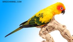 Loud, playful and emotive, sun conures are South American beauties that have big personalities and big voices.