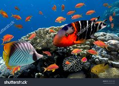 Coral And Fish In The Red Sea. Egypt Стоковые фотографии 383461480…