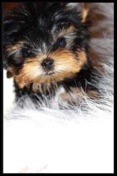 Wild West Yorkies Txyorkiecom Yorkie Puppies For Sale In Texas