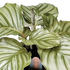 Orbifolia- One of over 400+ varieties from Exotic Angel Plants®