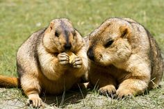 A greedy marmot was seen selfishly scoffing biscuits after stealing them straight from the hand of another marmot. Picture:  Caters News