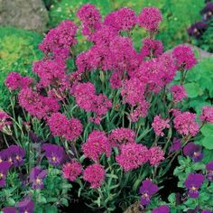Alpine Campion - Lychnis alpina perennial Features - Profuse, vibrant flowers make a showy addition to the rock garden, garden's edge or summer bouquets. Beautiful planted in a heather garden or with low-growing woody plants. Adaptable to soil types but prefers well-drained.