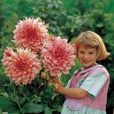 Memories of my mother\u0027s garden\u0027s when I was that age. Dinnerplate Dahlia\u0027s are my favorite  sc 1 st  Pinterest & Hibiscus..i have one of these in my garden...the blooms are the size ...