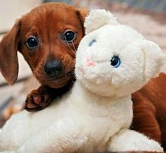 Love me some #dachshund puppies...look its first stuffed animal chew toy!