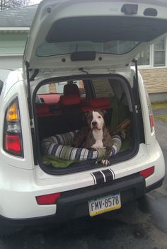 Buster Brown My Shelterdog Pitbull In The Kia Soul Dog Hideaway