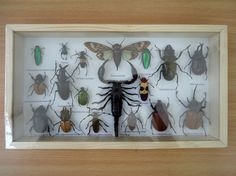 Real mixed beetle insects taxidermy boxed framed by TopButterflies