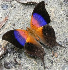 Iole's Daggerwing Butterfly (Marpesia Iole) | http://www.treknature.com/gallery/South_America/Colombia/photo52634.htm