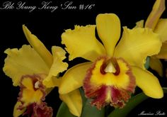 Blc: BrassoLaelioCattleya Young Kong 'Sun - Flickr - Photo Sharing!