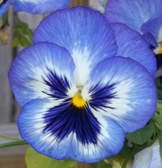 I love pansies Exotic Flowers, Amazing Flowers, My Flower, Flower Art, Flower Power, Beautiful Flowers, Anenome Flower, Cactus Flower, Purple Flowers