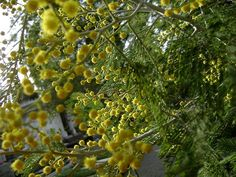 espinillo Media Sombra, Flora And Fauna, Ideas, Gardens, Home, Hanging Flowers, Exotic Flowers, Shrubs, Native Plants