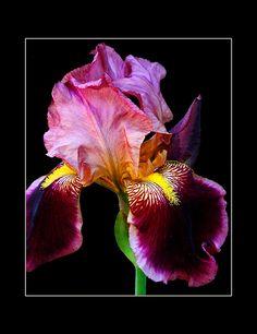 Iris - Flower,, deep rose an purple Iris Flowers, Flowers Nature, My Flower, Flower Power, Planting Flowers, Flowers Garden, Amazing Flowers, Beautiful Flowers, Beautiful Pictures