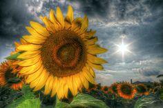 sunflower - HDR Photo