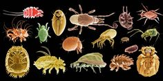 Image result for mite identification