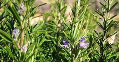 En este artículo aprenderemos a sembrar romero, una planta que llenará su casa de ricos aromas y dejará el ambiente más bonito. Esta planta tiene acción expectorante, anti-inflamatoria y es ideal para su bienestar. No imagina