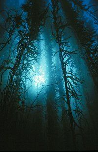 Diving the Kelp Forest in Tasmania Scuba Diving Australia, Goddess Of The Sea, Kelp Forest, Underwater Photography, Photography Tips, Portrait Photography, Nature Photography, Wedding Photography, Best Scuba Diving