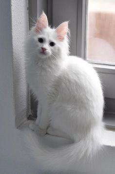 A snow-white cat! Cute Cats And Kittens, I Love Cats, Crazy Cats, Cool Cats, Kittens Cutest, Pretty Cats, Beautiful Cats, Animals Beautiful, Cute Animals