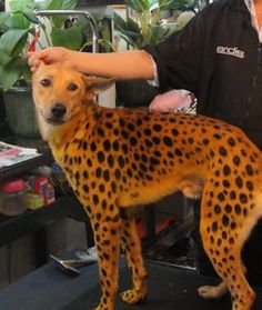 One makeover that will make your dog as fast as a cheetah! Use pet safe black face pain to make spots on our red-brown dog for an easy Halloween or running costume.