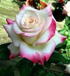 #Hybridtearoses Beautiful Rose Flowers, Exotic Flowers, Colorful Flowers, Beautiful Gardens, Purple Flowers, White Flowers, Lavender Roses, Pink Roses, Yellow Roses