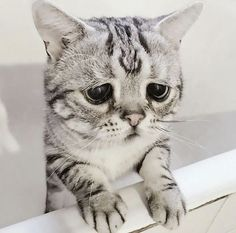 The world's most unhappy and sad cat Luhu - Katzen Cute Cats And Kittens, I Love Cats, Crazy Cats, Cool Cats, Kittens Cutest, Ragdoll Kittens, Funny Kittens, Baby Animals, Funny Animals