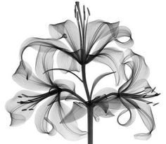 xray of tiger lily - Google Search